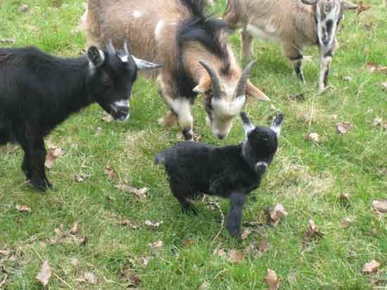 photo des chèvres